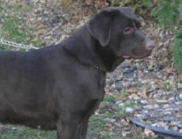 labrador retriever puppies for sale, chocolate labs for sale ...
