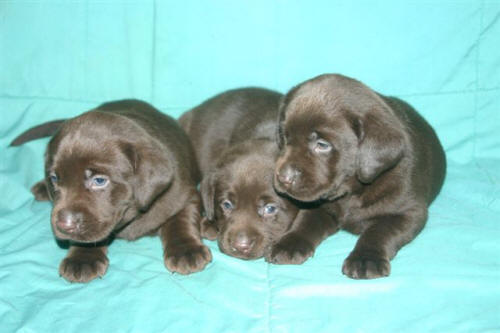 yellow lab puppies for sale. Yellow Lab Puppies For Sale In