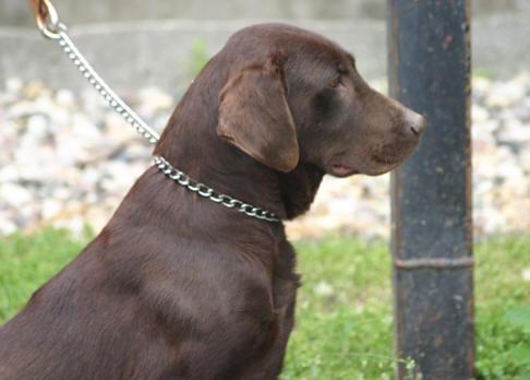 English Chocolate Labrador RetrieverLunawsome