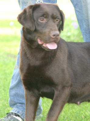 chocolate labs for sale yellow labrador puppies black labrador ...