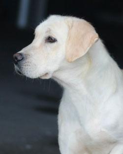 Female Labrador Retrievers