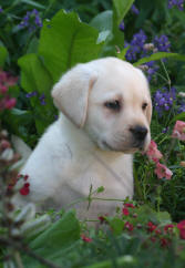 White  Puppies on Labrador Retriever Puppies For Sale   You May Also Request The Lab