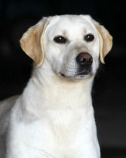 Female Labrador Retrievers