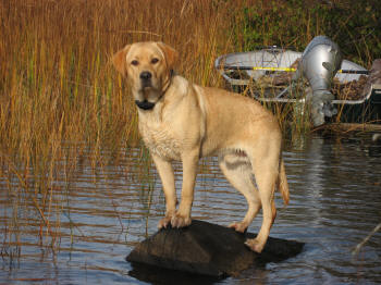 Male Yellow Labrador Retriever