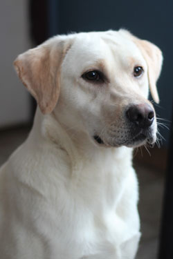 Labrador Retriever Puppies For