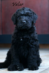 Index of /images/labradoodles