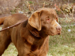 labrador retriever puppies for sale, chocolate labs for sale