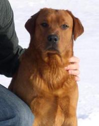Male Labrador Retrievers