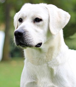 male labrador retrievers