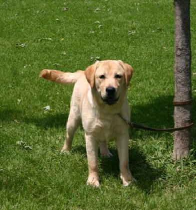 Male Yellow Labrador | www.pixshark.com - Images Galleries ...