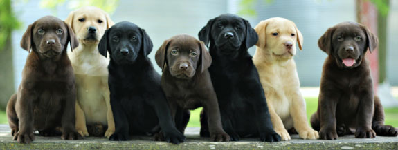 Labrador Retriever Puppies All Colors